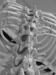 black and white photo of a skeleton's ribcage and spine. Photo credit: Nick Traboulay,<br /> Riverside, CA