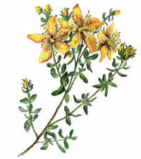 St John's Wort, a yellow-flowered herb
